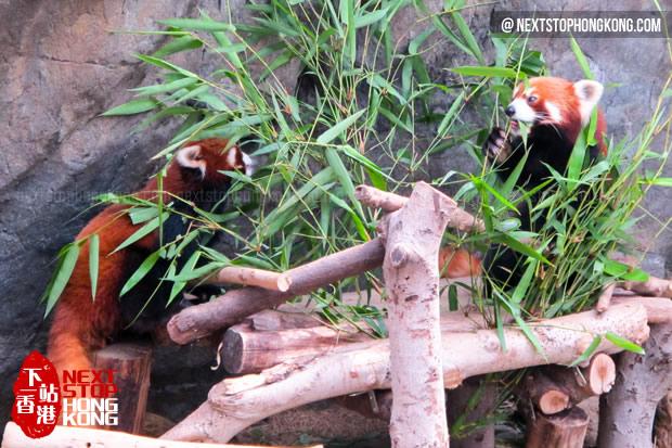 China Red Panda at the Waterfront, Ocean Park