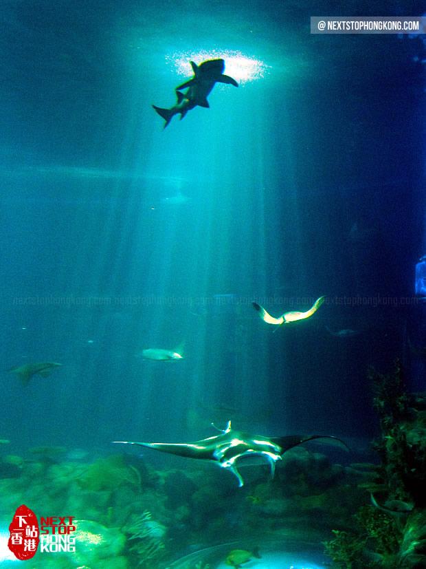 海洋公园巨型水族箱里的海鳐鱼 (海滨乐园,海洋公园)