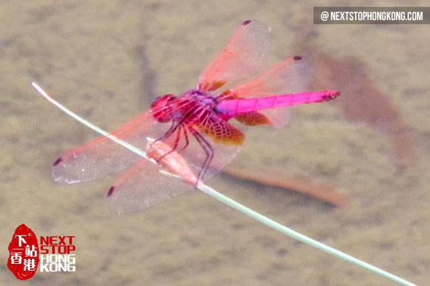 Dragonfly in Hong Kong Wetland Park