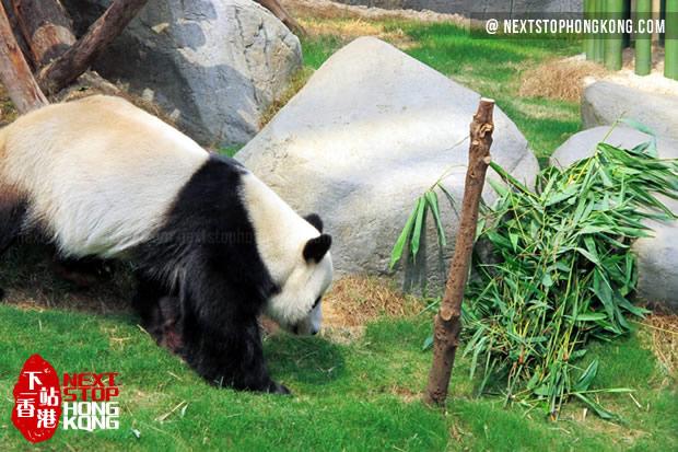 熊猫开始继续找食