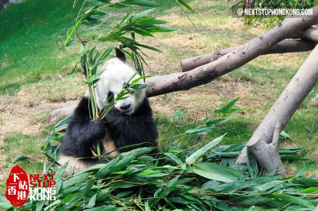 熊猫开始吃美味的竹叶午餐