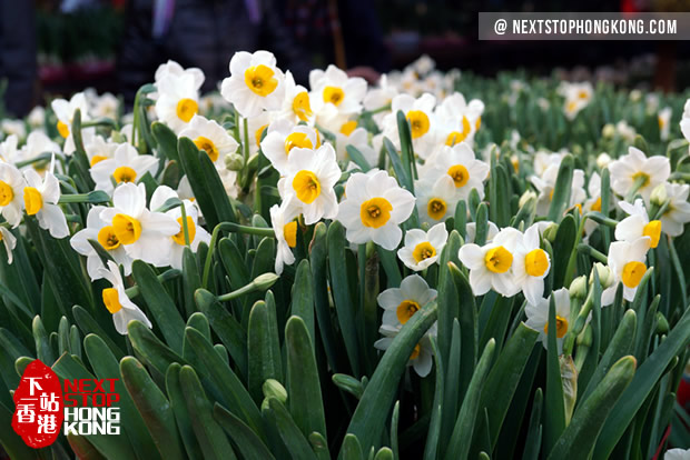 2018 Hong Kong Chinese New Year Flower Markets - Narcissus