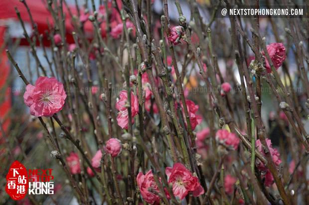 2018 Hong Kong Chinese New Year Flower Markets - Peach Flower