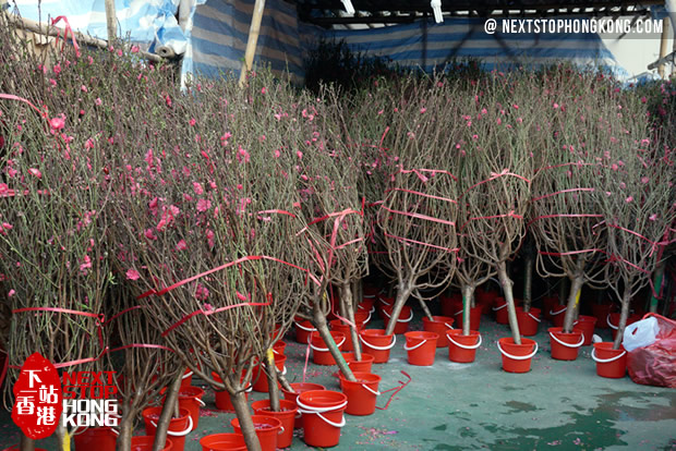 Peach blossom on Chinese New Year Flower Markets